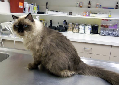 lice on cats treatment